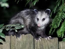is possum garden pest or pal pantagraph com
