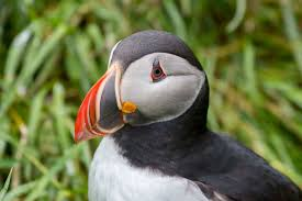 uv light for birds scientists just discovered that puffins beaks glow under uv light
