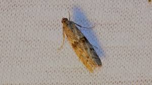 larven in der k che mehlmotte