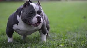 american pitbull terrier qualities pit bull kills its owner 25 by savaging her head and body page 3