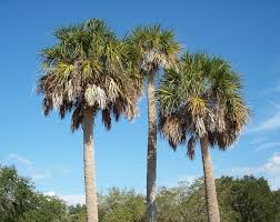 florida native plants pictures sabal palmetto wikipedia