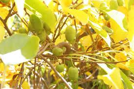 kiwi trellis arbor general fruit growing growing fruit