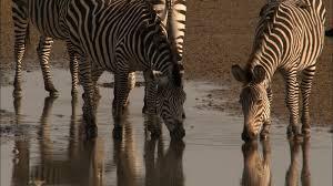 zebra attack caught in the act video nat geo wild