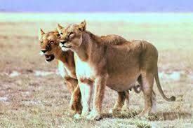 pregnancy mammals wikipedia