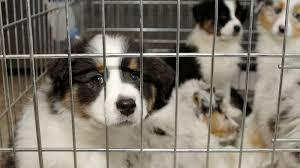 australian shepherd quiz pet store puppies implicated in campylobacter outbreak shots