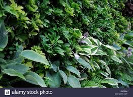 pachysandra terminalis hosta living green wall vertical garden