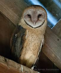Barn Owl Photography How To Photograph Wildlife In Low Light Photonaturalist