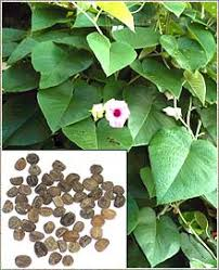 hawaiian baby woodrose image of hawaiian baby woodrose plant and seeds