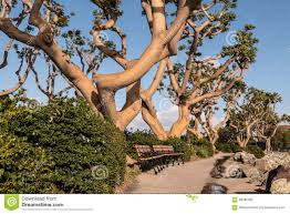coral trees at landing in san diego stock photo image