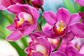 Salep Pink salep orchid extract found to offer protective effects against
