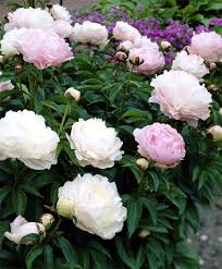 Peonies Flower Peony Moonstone Herbaceous Peonies Flower Bulb Index