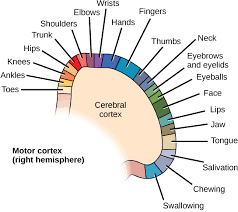Part Of Brain That Controls Arousal The Central Nervous System Boundless Biology