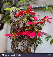 poinsettia tree santiago apoala oaxaca mexico new shoots growing from the