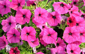Low Light Outdoor Plants Petunias How To Plant Grow And Care For Petunias The Old
