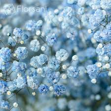 babys breath light blue tinted baby s breath