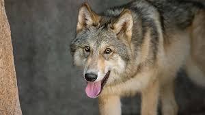 wolf san diego zoo animals u0026 plants