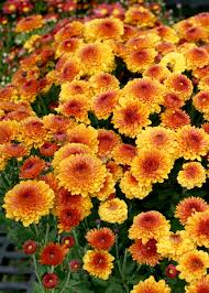 shop now for colorful fall blooming mums mississippi state