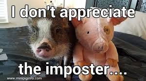 Funny Pig Memes - mini pig meme s pictures mini pig info