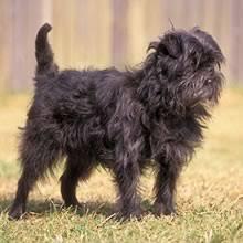 affenpinscher in texas affenpinscher puppies for sale