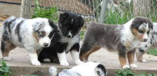miniature australian shepherd 8 weeks faithwalk aussies eyes pigment markings