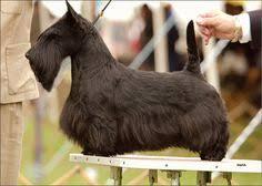 scottish yerrier haircuts scottie pet trim groomer to groomer pet grooming news stories