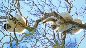 Tropical Dry Forest Animals And Plants - lemurs of madagascar back from the brink cnn travel