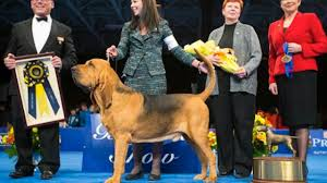 s guide to shows nathan the bloodhound wins best in show