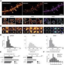 super resolution imaging reveals that ampa receptors inside