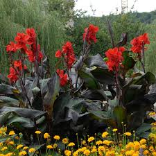 canna lilies canna roots on sale in ireland on sale at best prices