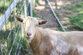 goat vaccinations what you need to know weed u0027em u0026 reap