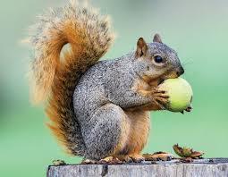 better squirrel habitat missouri department of conservation
