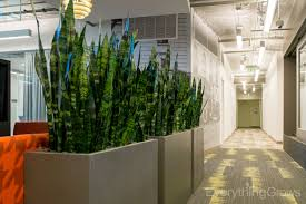 sansevieria earth wall office plant jungle theming pinterest