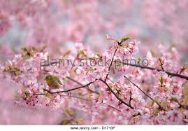 cherry blossom tree birds on stock photos cherry blossom tree