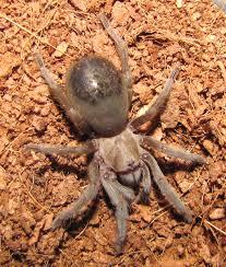 august 2014 tarantula of the month aphonopelma hentzi tarantulas
