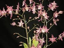 oncidium orchid orchids oncidium