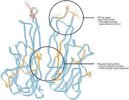 frontiers cytokine u2013ion channel interactions in pulmonary