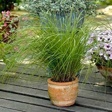 grasses ornamental bunny tails seeds roceco ecological products