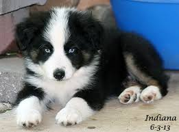 australian shepherd indiana mini aussies
