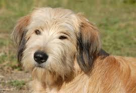belgian sheepdog dogtime pyrenean shepherd dog breed information pictures characteristics