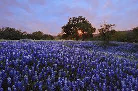 Bluebonnet Flowers - bluebonnet trail llano tx top tips before you go with photos
