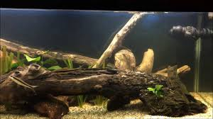 Aquascaping With Driftwood 2 Meter Tank Aquascaping With Free Driftwood Youtube