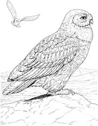 snowy owl coloring page pertaining to really encourage to color an
