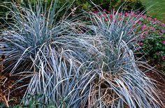 carex petriei garden ideas garden ideas and gardens
