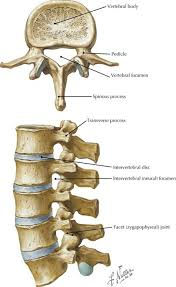 Anatomy Of Vertebral Body Back And Spinal Cord Radiology Key