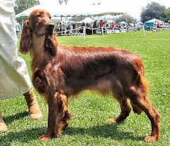 types of setter dog breeds irish setter red setter dog breed guide information and pictures