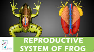reproductive system of frog youtube