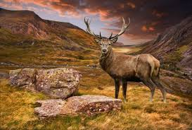 highland stag wallpaper mural animal photo wall mural covering an119754961 sunset stag 2p