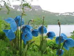 367 best blue flowers images on pinterest blue flowers flowers
