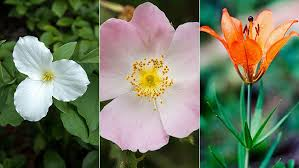 canada flowers can you id the official flowers of each province edmonton examiner