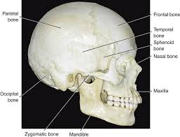 Bones That Form The Cranium 1 Functional Anatomy And Biomechanics Of The Masticatory System